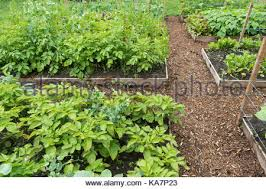 bed of vegetables mulch vegetable bed with salad and cabbage