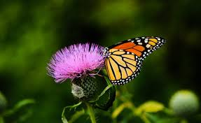 native plants of canada create a pollinator friendly garden for the birds bees and