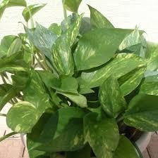 fresh common house plants australia 6076