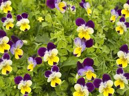 Edible Flowers Viola U0027heartsease U0027 The Edible Flower Shop Grow Your Own Edible