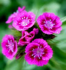 sweet william flowers file pink sweet william flowers jpg wikimedia commons