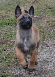 belgian shepherd rescue dogs cher car kennels dog breeding