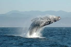 Whale by Why Do Whales Jump Into The Air Science Of Us