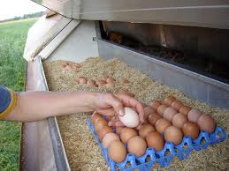 what color egg yolks do you eat organic vs free range eggs