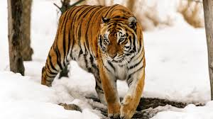 tigers through snow hd wallpapers 4k