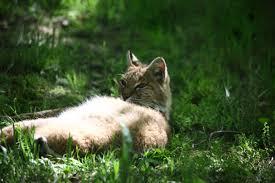 West Virginia wildlife images File lazy bobcat wildlife 48 west virginia forestwander jpg jpg