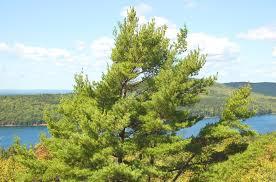white pine tree eastern white pine poster child for trees