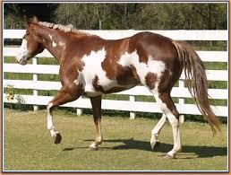 132 best paint horse lover images on pinterest