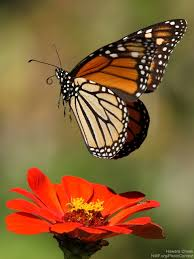 monarchs face new threats losses along migration route the