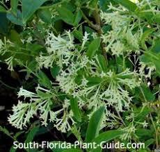 Fragrant Night Blooming Plants - cestrum nocturnum night blooming jasmine jasmine shape and
