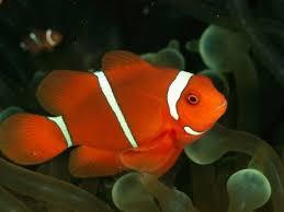 pesci alimentazione pesce san pietro pesce