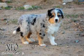 mdr1 australian shepherd mott ranch australian shepherd puppies