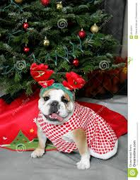bulldog in holiday antlers stock photos image 28143813