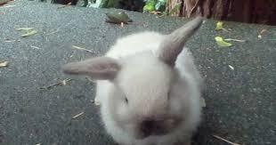 Kims Rabbit Hutch Silver Mist The Sable Point Holland Lop Bunny Lil U0027 Hobbit