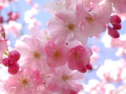 almost wordless wednesday u2013 pink spring flowers u2013 lifting hearts