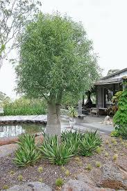 australian native garden plants the australian native garden angus stewart and ab bishop