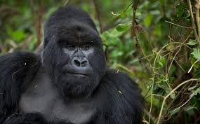 Gorilla by Zoo Director I U0027would Make The Same Decision U0027 Again To Kill The