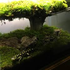 dragon bonsai set up caudata org