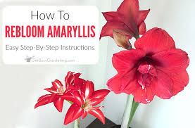 your amaryllis bulbs how to make amaryllis bloom again