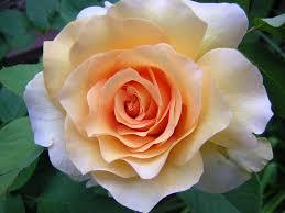 Fragrant Rose Plants - top 10 best fragrant roses in the world top 10 best roses