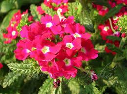 verbena flower verbena hybrida verbena