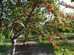 happiness does grow on trees celebrating cherry season in the