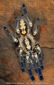 minden pictures stock photos gooty sapphire ornamenta tarantula