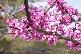 Trees With Pink Flowers Pictorial Guide To Spring In Tallahassee Tallahassee Nurseries