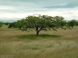 an umbrella tree on the plains