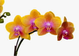 yellow orchid yellow orchid flower beautiful orchid flower flowers png image