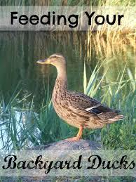 Backyard Chickens Magazine by Feeding Your Backyard Ducks The Cape Coop