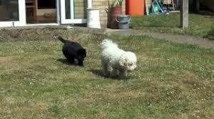 bichon frise puppy 8 weeks an 8 week old english bulldog puppy following a bichon frise