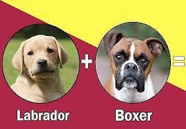 boxer x red cattle dog labrador x puppies dogs u0026 puppies gumtree australia free local