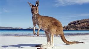 kangaroo facts u2013 interesting facts
