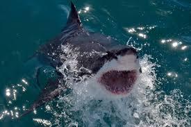 should the us ban shark feeding sharks earth touch news