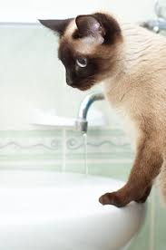Cat Under Faucet Problems With A Cat Drinking Excessive Water Pets