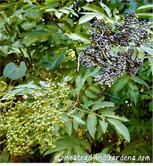 plants native to illinois foraging for elderberries finding u0026 identifying elderberries