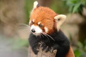 12 furry facts red pandas mental floss