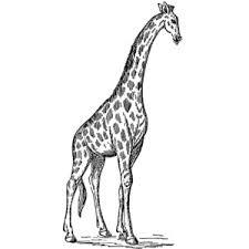 sketch clipart giraffe pencil and in color sketch clipart giraffe
