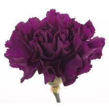 types of purple deep purple carnations carnations types of flowers flower muse