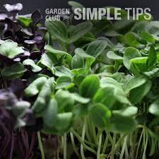 microgreens garden club