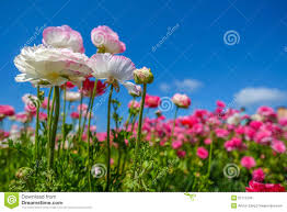 blooming flowers in spring stock photo image 52771249
