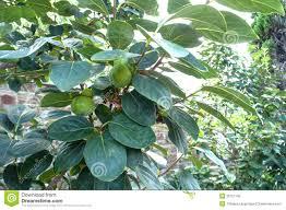 garden design garden design with how to plant a persimmon tree