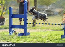 australian shepherd jumping fence medium schnauzer jumping over fence test stock photo 90010543