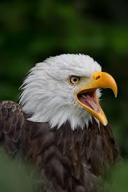 489 best birds eagles hawks vultures images on pinterest