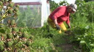 woman weed in vegetable garden bed of onion stock video