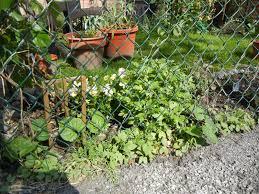 camaflouge chainlink fence fences landscaping design passion vine