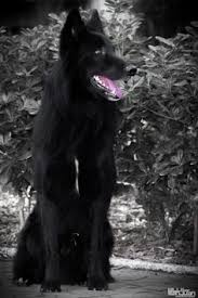 belgian sheepdog wolf hybrid belgian shepherd is this a belgian malnois sp sometimes used
