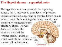 Thalamus Part Of The Brain Deep Brain Structures