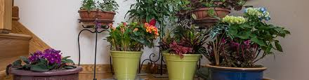 Indoor Container Gardening - poinsettias christmas flower container gardening miracle gro